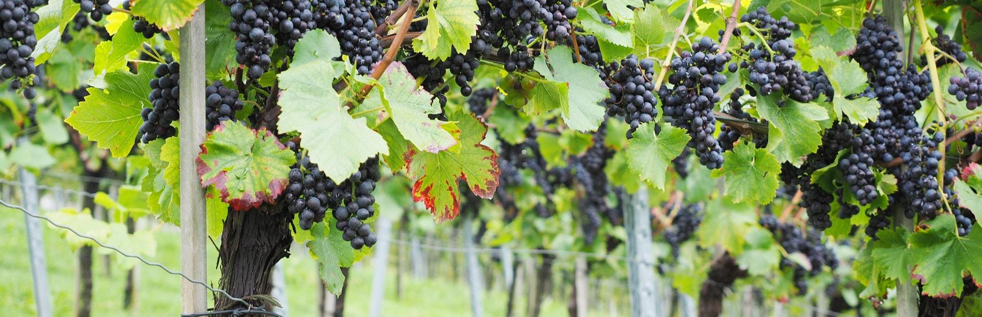 Rotwein, Weinrebe, Weinberg, Weintrauben