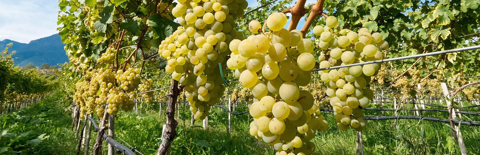 Weißwein, Weinrebe, Weinberg, Weintrauben
